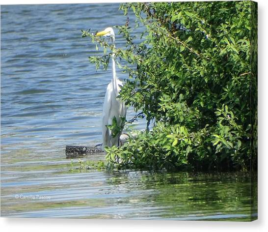 Great Egret In The Marsh Canvas Print