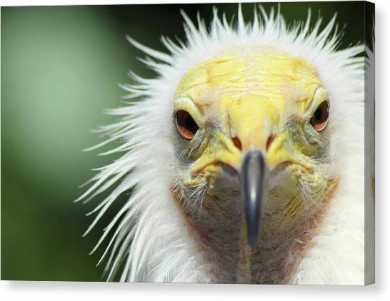 Egyptian Vulture Canvas Print