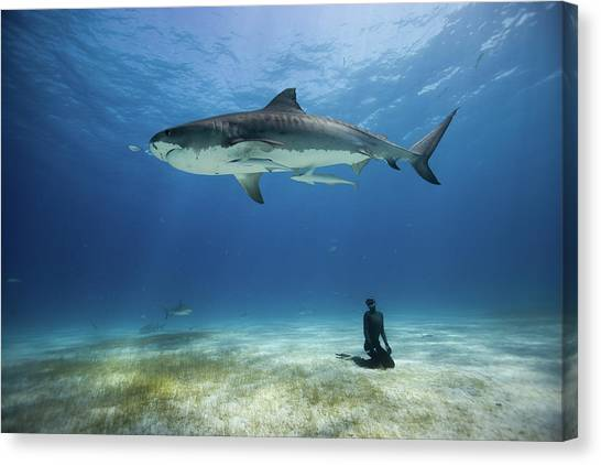 Tiger Sharks Canvas Print - El Tigre by One ocean One breath