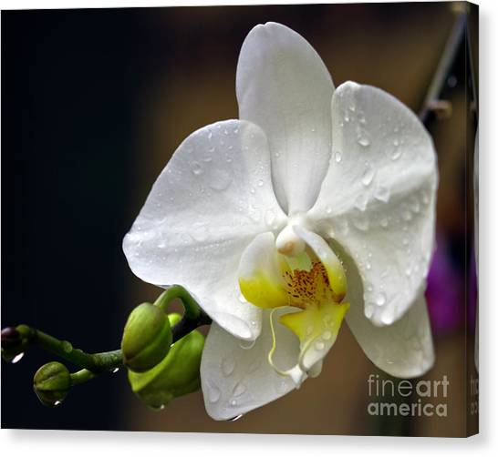 Elegance In White Canvas Print