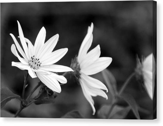 Elegant Asters Canvas Print