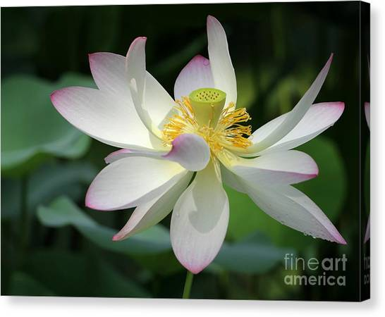 Elegant Lotus Canvas Print