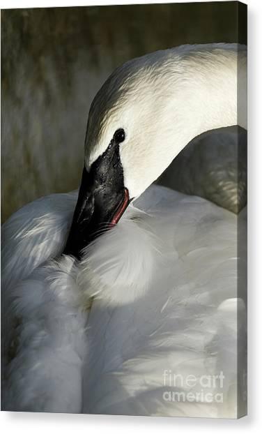 Elegant Trumpeter Swan Canvas Print
