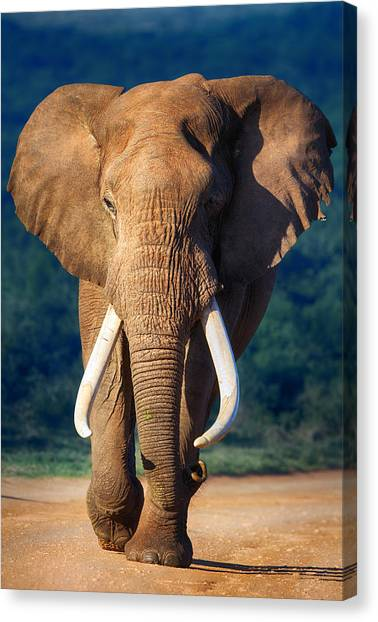 Teeth Canvas Print - Elephant Approaching by Johan Swanepoel