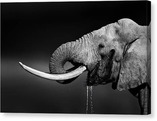 Large Mammals Canvas Print - Elephant Bull Drinking Water by Johan Swanepoel