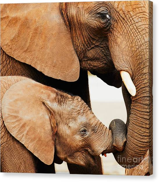 Elephant Calf And Mother Close Together Canvas Print