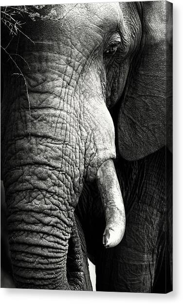 Teeth Canvas Print - Elephant Close-up Portrait by Johan Swanepoel