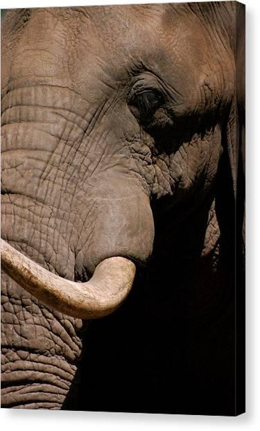 Elephant Close Up Canvas Print by Tess Haun