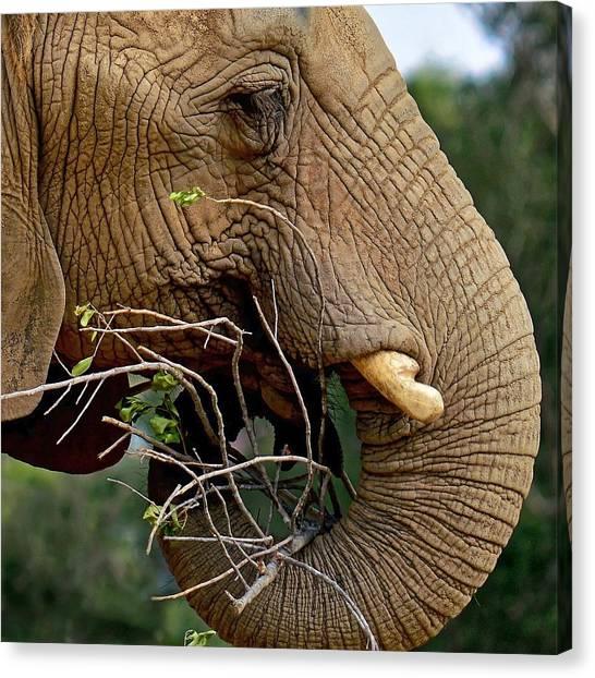 Elephant Curl Canvas Print