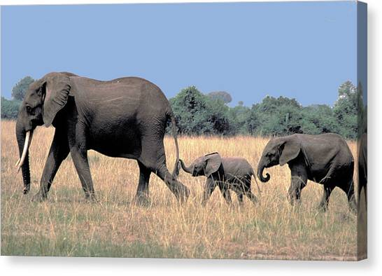 Elephant Family Canvas Print by Carl Purcell