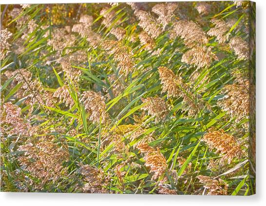 Elephant Grass Photo Canvas Print by Peter J Sucy