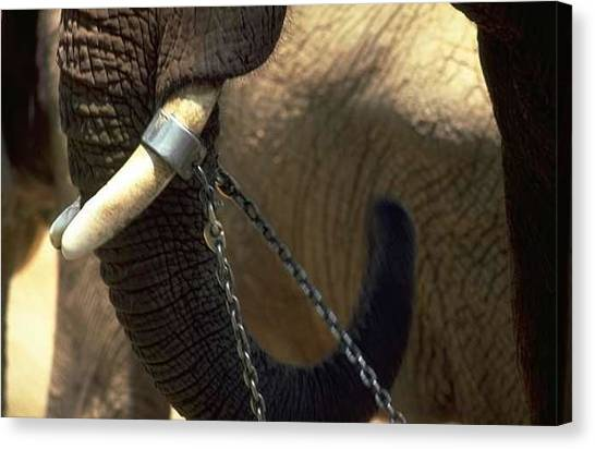 Ivory Canvas Print - Elephant In Africa by Mary Ann Mackay