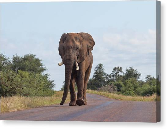 Elephant In Kruger Canvas Print