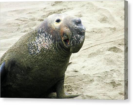 Elephant Seal Canvas Print