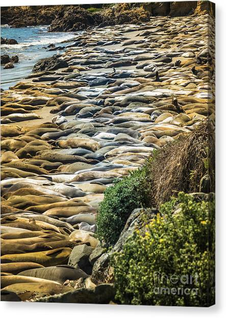 Elephant Seals Pierdras Blancas Canvas Print