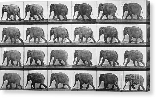 Elephants Canvas Print - Elephant Walking by Eadweard Muybridge