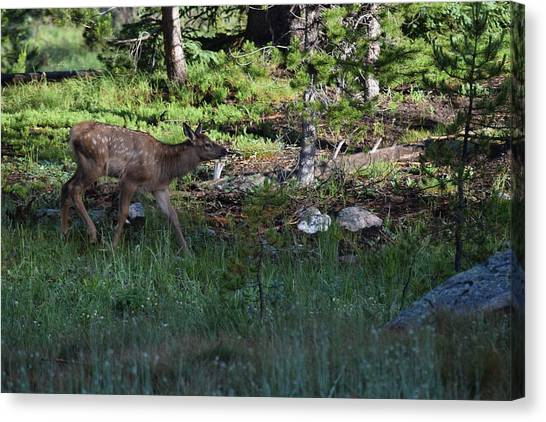 Baby Elk Rmnp Co Canvas Print