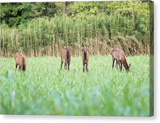Elk Calves Canvas Print