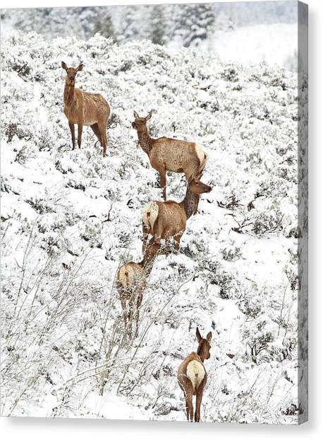 Canvas Print featuring the photograph Elk Cows In Snow by Jean Clark