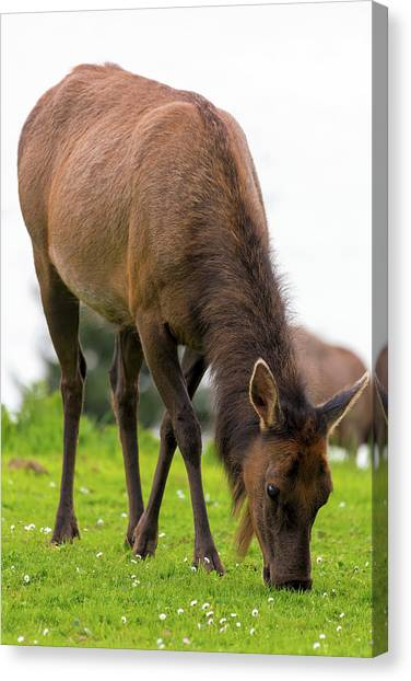 Canvas Print - Elk Grazing On Green Pasture Closeup by David Gn