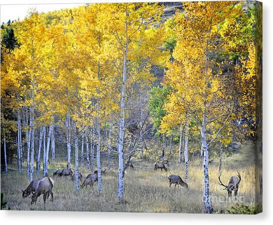 Elk In Rmnp Colorado Canvas Print