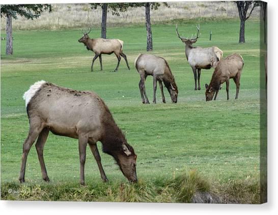 Elk On Golf Course Estes Park Colorado Canvas Print