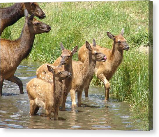 Elk Water Babies In Evergreen Colorado Canvas Print