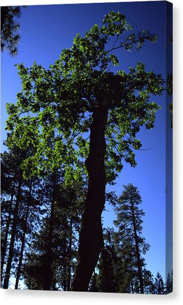 Emerald Oak Canvas Print