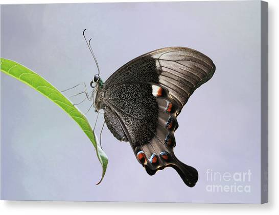 Emerald Peacock Swallowtail Butterfly V2 Canvas Print