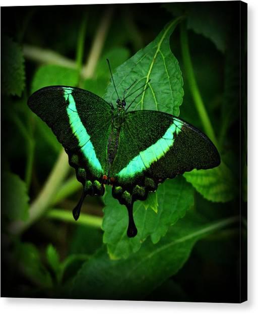 Emerald Swallowtail Canvas Print
