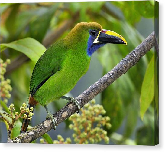 Emerald Toucanet Canvas Print