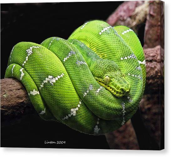 Emerald Tree Snake Canvas Print