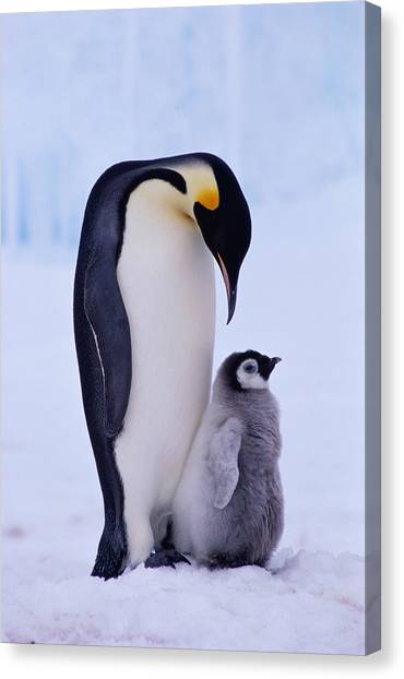 Penguins Canvas Print - Emperor Penguin Adult With Chick by Kevin Schafer