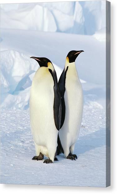 Antarctica Canvas Print - Emperor Penguins, Weddell Sea by Joseph Van Os