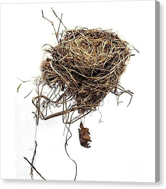 Robins Canvas Print - Empty Nest Blown Out Of A by Larry Braun