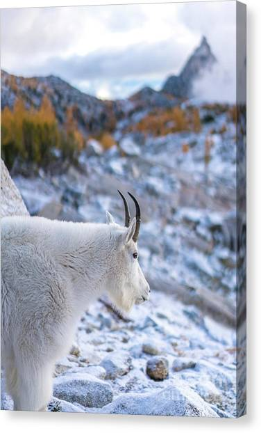 Larch Canvas Print - Enchantments Local Goat Resident by Mike Reid