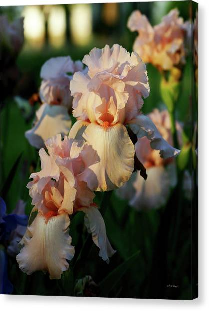 End Of Day Pink Irises 6702 H_2 Canvas Print