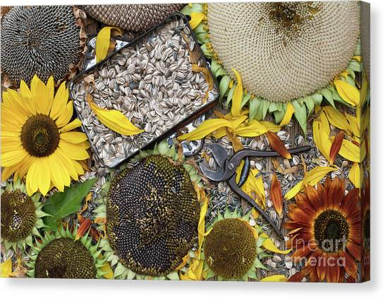 Sunflower Seeds Canvas Print - End Of Season by Tim Gainey