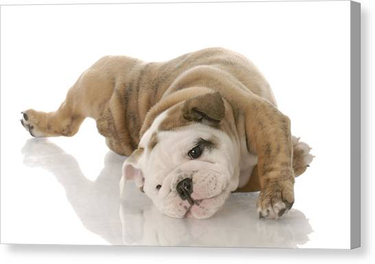 English Bull Dogs Canvas Print - English Bulldog by Maye Loeser