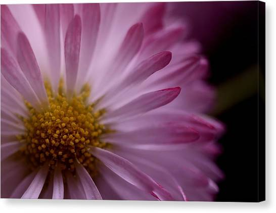 Canvas Print - English Daisy Sigh by Russell Wilson