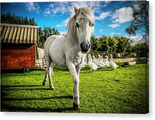 English Gypsy Horse Canvas Print