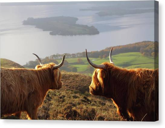 Enjoying The View - Highland Cattle Canvas Print