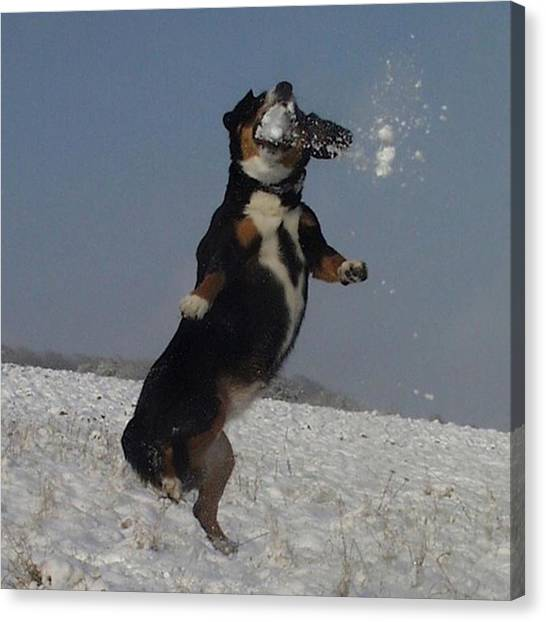 Snowball Canvas Print - #entlebuchersennenhund Catching by Mike Burkhard