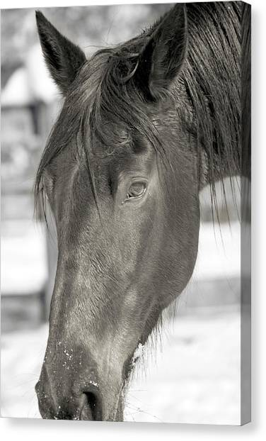 Brown University Canvas Print - Equine Almost Dozing Near Virginia Tech by Betsy Knapp
