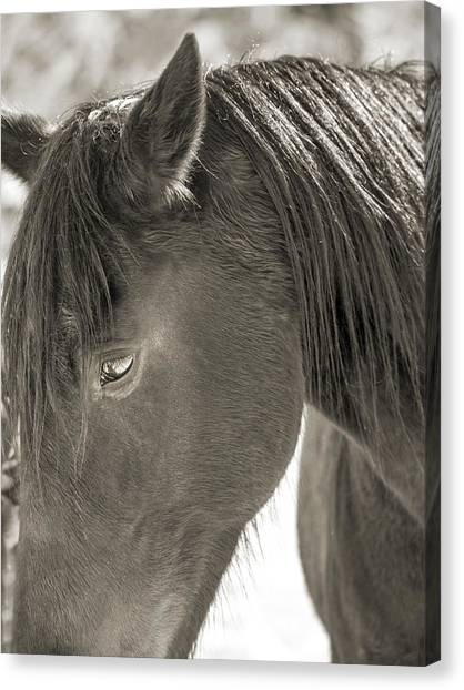 Brown University Canvas Print - Equine Thoughtful Moments Near Virginia Tech by Betsy Knapp