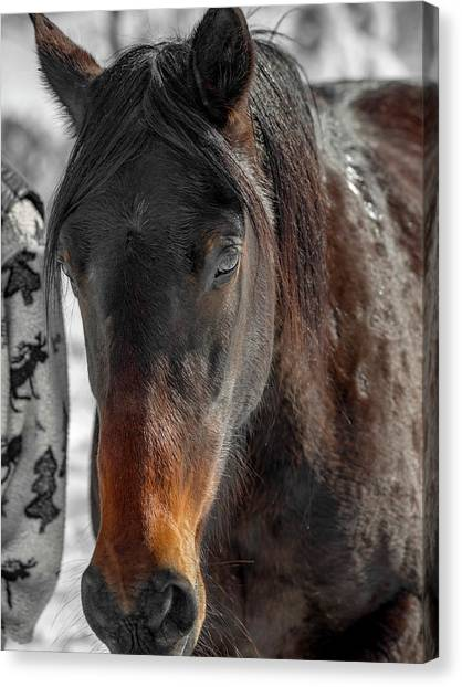 Brown University Canvas Print - Equine Winter Wooly Portrait by Betsy Knapp