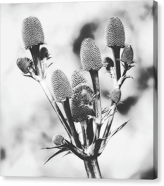 Beautiful Canvas Print - Eryngium #flower #flowers by John Edwards