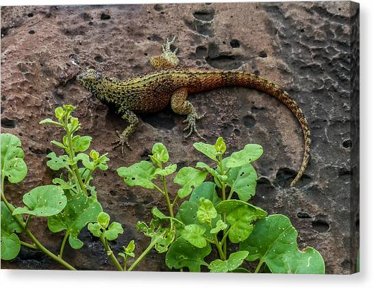 Espanola Lava Lizard Canvas Print by Harry Strharsky
