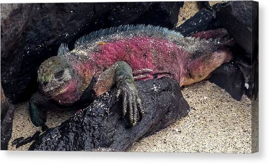 Espanola Marine Iguana Canvas Print by Harry Strharsky