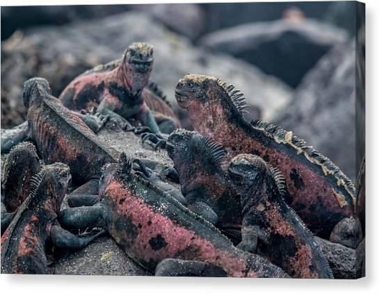 Espanola Marine Iguanas Canvas Print by Harry Strharsky